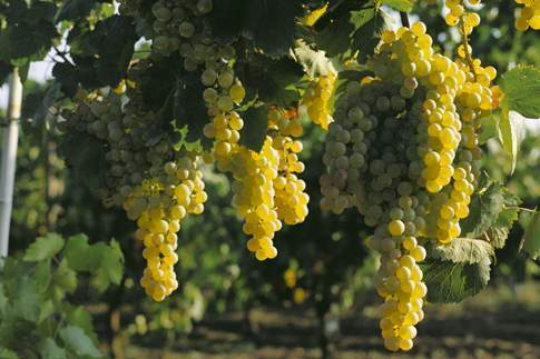 bianchello-del-metauro-vitigno