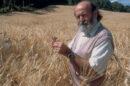 Il grano Graziella Ra : dall' Egitto fino alle Marche